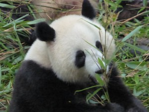 The Panda is China's most iconic animal
