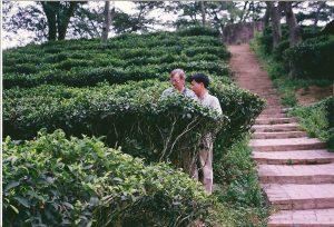 Teeplantage in Guishan